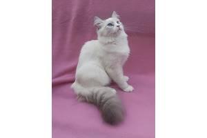 Невские маскарадные кошки