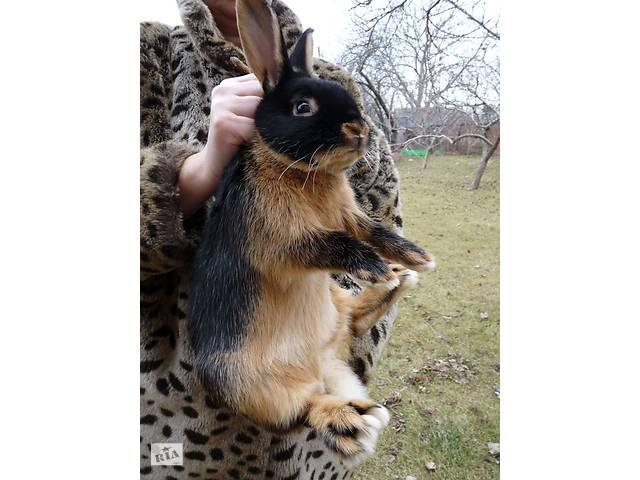 продам Кроль Черно-Огненный бу  в Украине