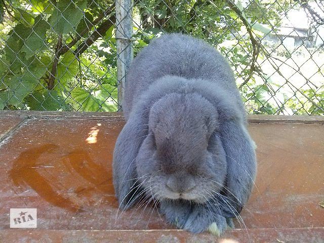 купить бу Кролики Французский баран в Збараже (Тернопольской обл.)