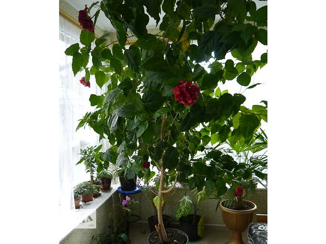 купить бу Китайска троянда - символ сімейного щастя в Коломые
