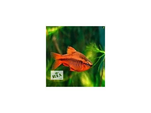 продам Мирные рыбки в аквариум бу в Киеве