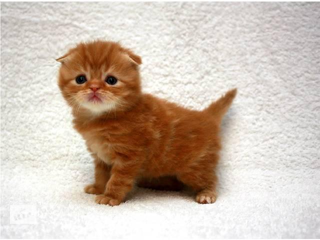 купить бу Очаровательные шотландские котятя к Новому году в Киеве