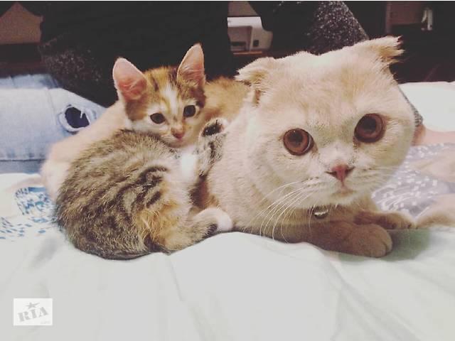 продам Продается шотландский вислоухий котик! бу в Тячеве