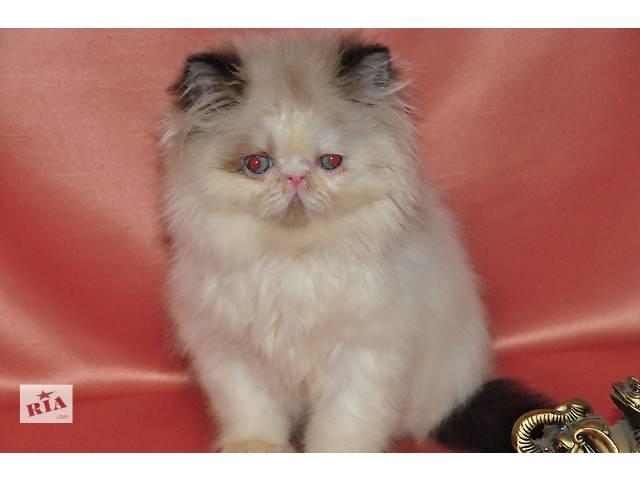 продам персидский котенок бу в Николаеве