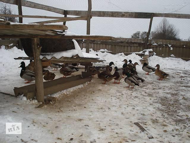 купить бу Подсадные утки в Белой Церкви