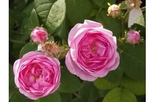 Квітучі чагарники