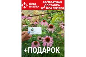 Эхинацея пурпурная семена (50 шт) рудбекия, Echinácea purpúrea