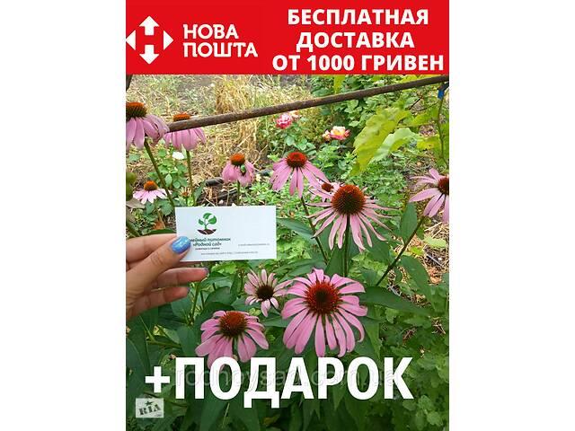 продам Эхинацея пурпурная семена (50 шт) рудбекия, Echinácea purpúrea бу в Андреевке