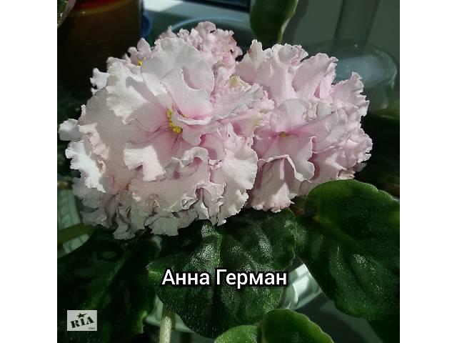 бу Фиалка сортовая РС Анна Герман в Киеве