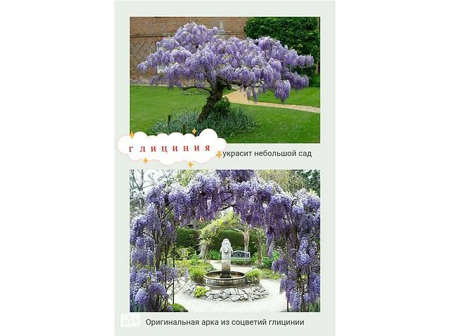 купить бу Глициния. Красивоцветущие растение. Можно сформировать на арку,как лиану или как дерево, или как куст в Бердянске