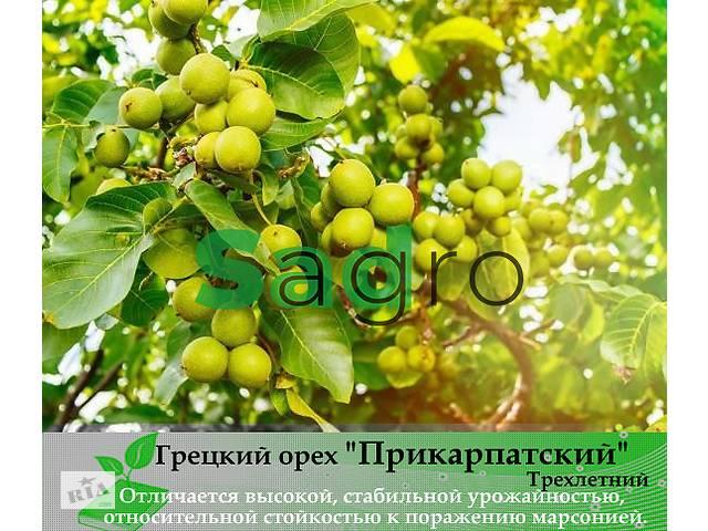 Грецкий орех ПРИКАРПАТСКИЙ Трехлетний- объявление о продаже  в Луцке