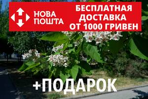 Катальпа бигнониевидная семена (50 штук) Catalpa bignonioides для саженцев, насіння катальпи для саджанців