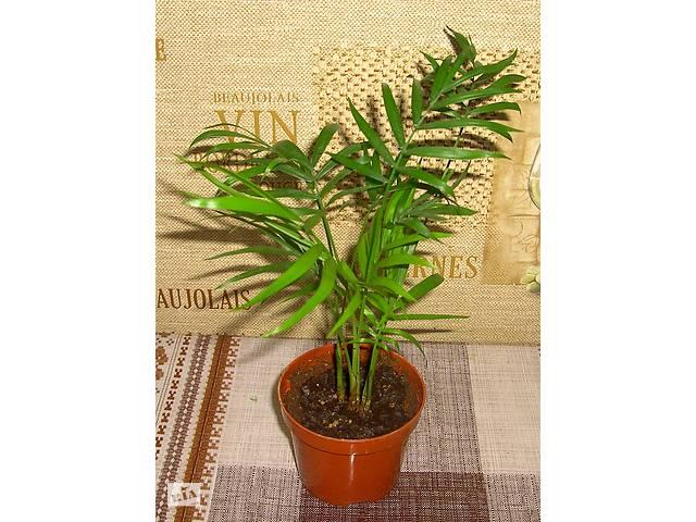 Хамедорея (Chamaedorea elegans), бамбуковая пальма, 70 грн/шт.- объявление о продаже  в Киеве