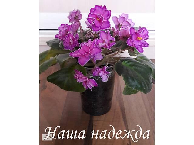 бу Красивые фиалки на подарок в Киеве