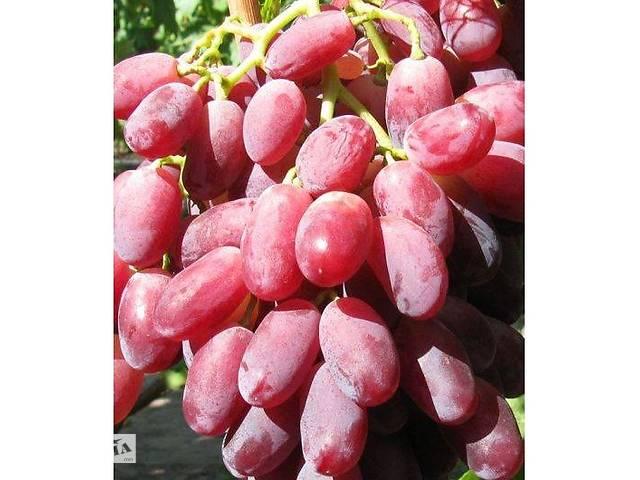 продам Саженцы винограда Марсело бу в Новой Каховке