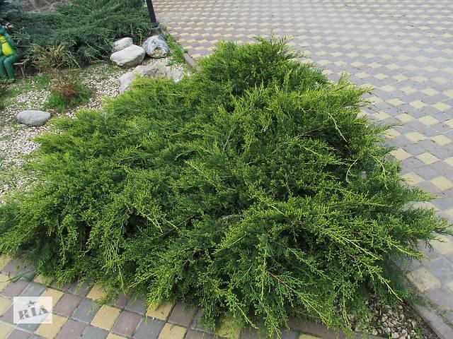 продам Можжевельник средний сизо-зеленый бу в Фастове
