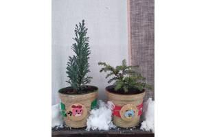 Вічнозелені рослини