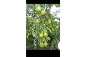 Саджанці груші