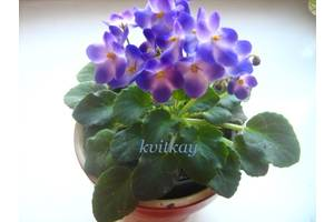 Геснерієві рослини