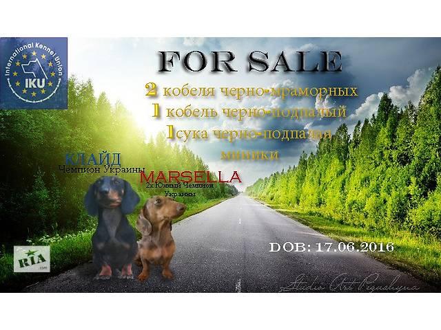 купить бу Высокопородные щенки миниатюрной мраморной г/ш таксы в Броварах