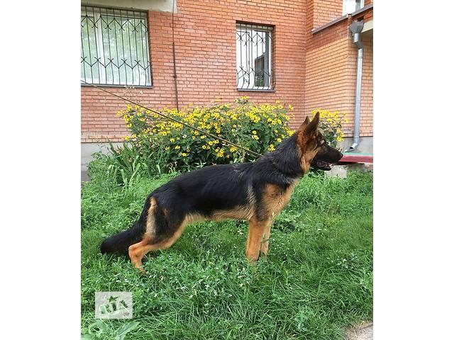 продам Продается красивый подрощеный щенок Немецкой Овчарки. бу в Полтаве