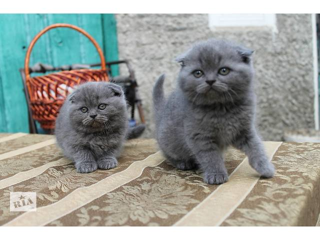 продам Продам чумачедче красивых котят разных окрасов по разным ценам бу в Запорожье