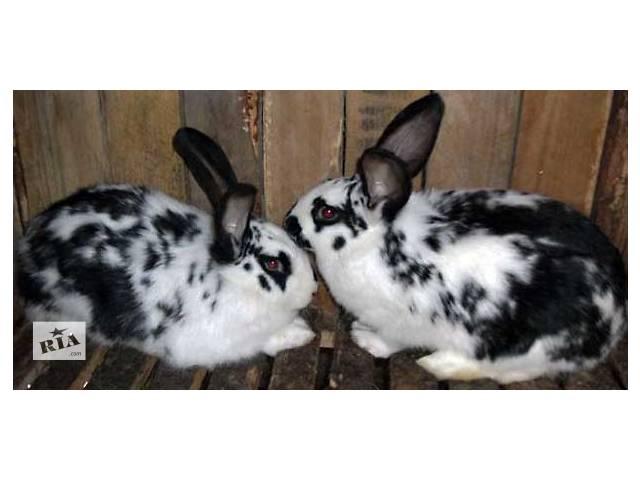 купить бу Продам кроликов нутрий!!!!! в Бердичеве