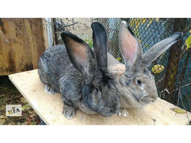 продам Продам племенных кроликов бу в Одессе