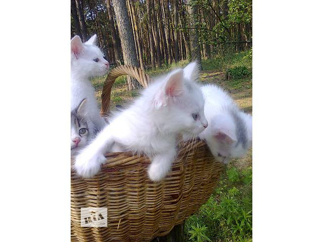 Продам породистых котят- объявление о продаже  в Киеве