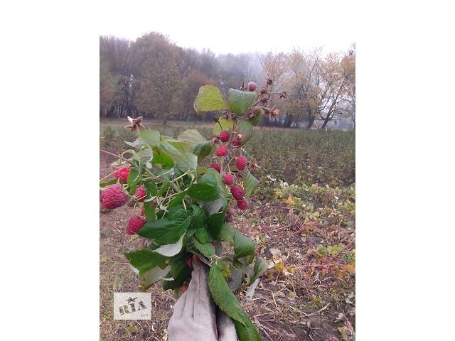 купить бу продам саженцы малины (доставка) в Тернополе