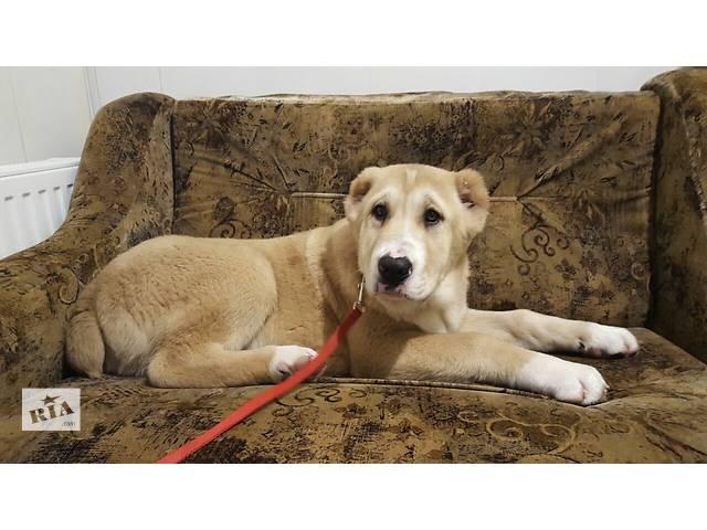 купить бу Продам щенков САО(Алабаи) в Вышгороде