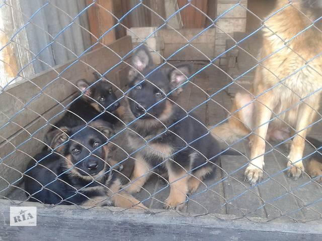 продам щенков- объявление о продаже  в Купянске