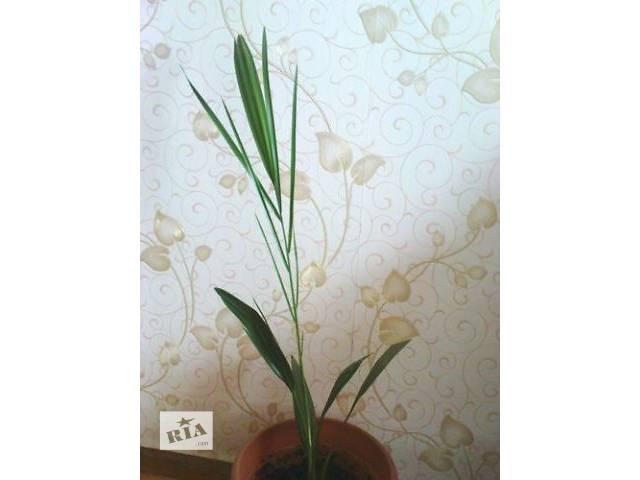 купить бу Продам финиковую пальму, 65 см в Тернополе