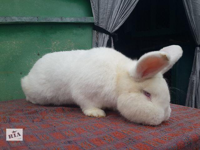 продам Продаж кроликів породи Новозеландський білий бу в Белой Церкви (Киевской обл.)