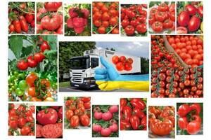 Šiltnamio pomidoras Ukraina, Chersono sritis, Chersonas