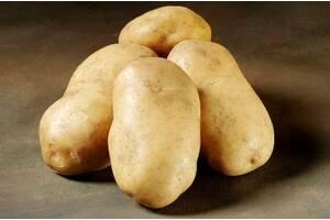 Продаем вкусный картофель, сорт Роял, фракция 4+ Голландия!