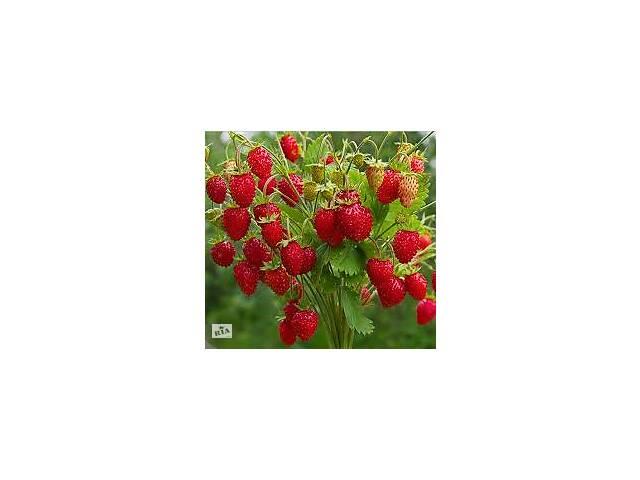 продам продам ягоды земляники  бу в Киеве
