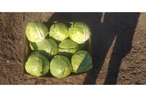 Продаю молодую капусту оптом и в розницу, возможна доставка в магазины