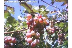 Виноград Лидия Розовая, Изабелла ягоды 100 - 300 кг. или чистый 100% сок