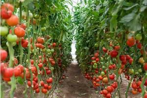Работники теплицы (помидоры) Польша