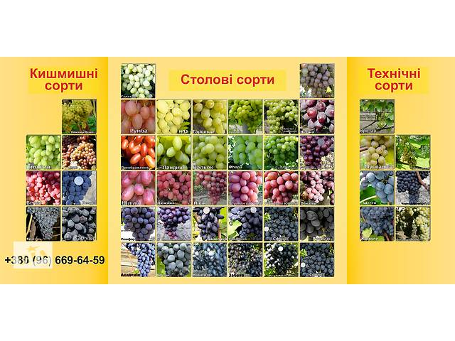 продам Саджанці винограду бу в Здолбунове