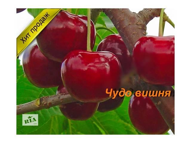 купить бу Саженцы Чудо вишни в Сумах