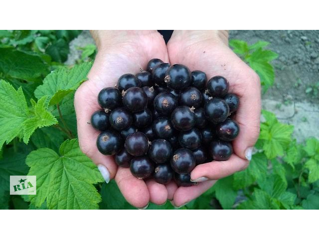 купить бу Саженцы новых крупноплодных сортов смородины оптом и в розницу. в Днепре (Днепропетровск)