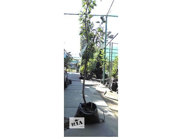 бу Саженцы плодовых деревьев (3-х-летние) с закрытым корнем в Киеве