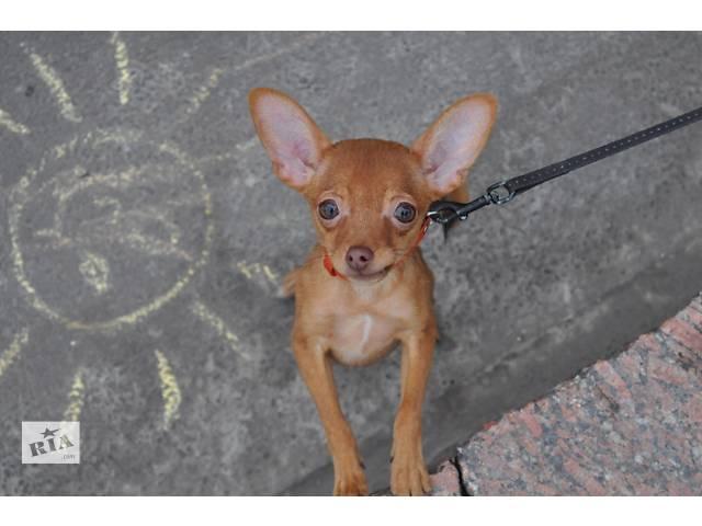 Cолнечный щенок той терьера- объявление о продаже  в Киеве