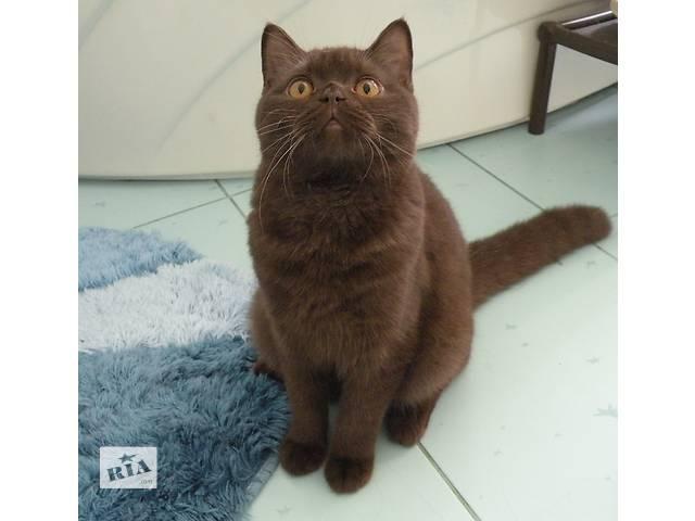 продам Шоколадный кот шотландец бу в Новой Каховке