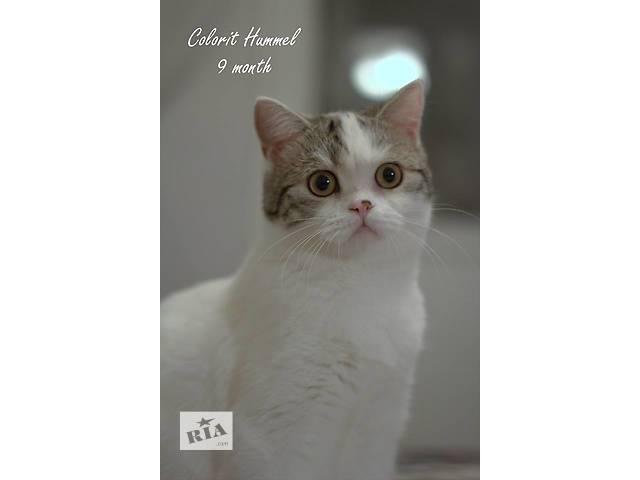 купить бу Шотландские котята, питомник Colorit в Донецке