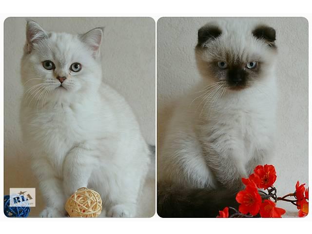 продам Шотландские котята бу в Львове