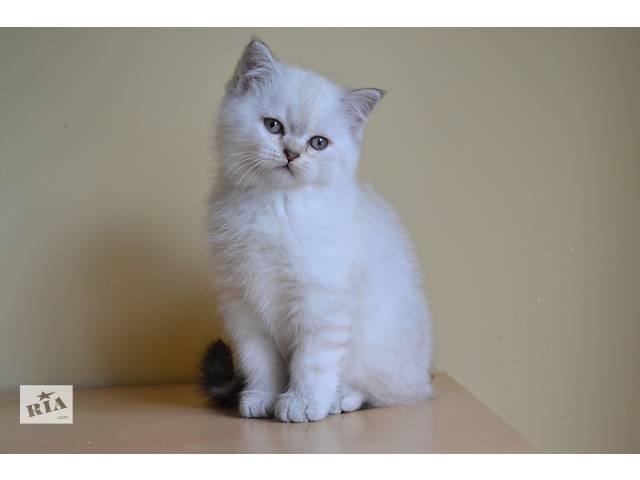 бу Шотландский котик в Львове