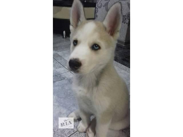 купить бу Срочно продам щенка хаски!!! в Хусте